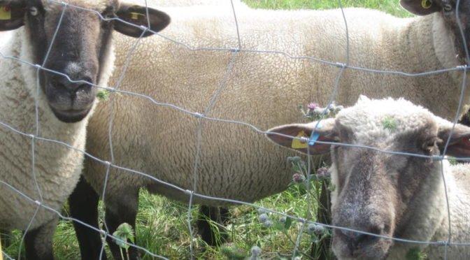 Rundblick-Unna » Schaf und Lamm auf Weide in Schwerte geschächtet